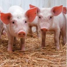 Кормовой оксид цинка: свойства и применение в животноводстве